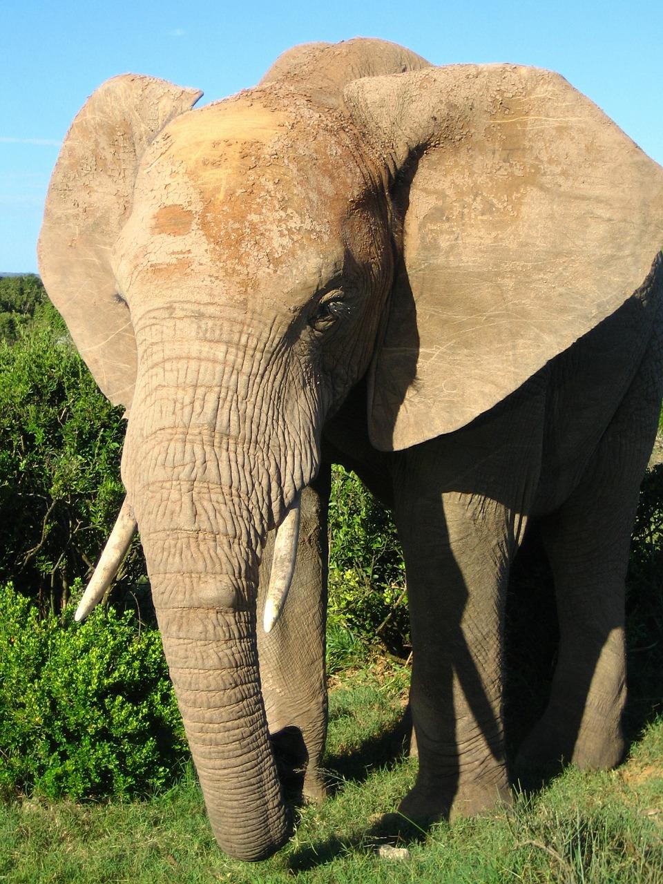 african-elephant-591449_1280